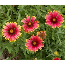 Indian Blanket/ Firewheel