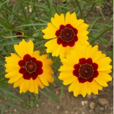 Plains Coreopsis (tickseed)