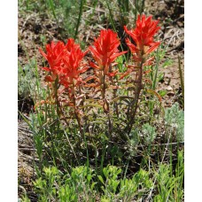 Texas Paintbrush / Indian Paintbrush