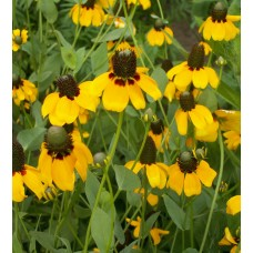 Coneflower, Clasping