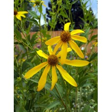 Coneflower, Cutleaf